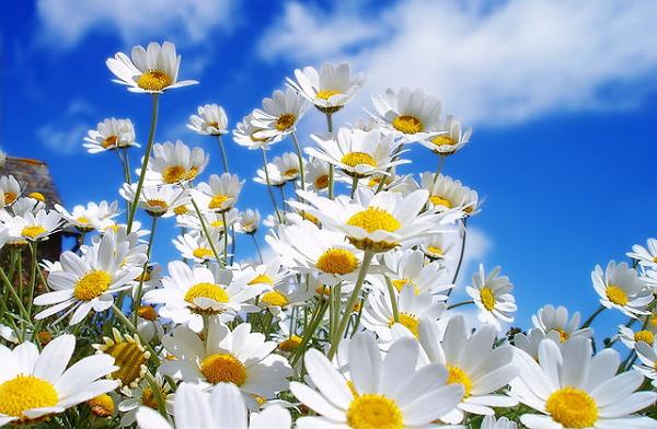 Цветы ромашки в поле